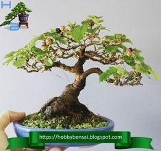 Il Morus è coltivato come bonsai da secoli, le sue foglie sono la dieta base dei bachi da seta. Bonsai, Herbs, Herb, String Garden, Medicinal Plants