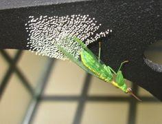 The Nature In Us Newsletter - 8/1/15 - Green Mantidfly (Zeugomantispa minuta) Laying Eggs