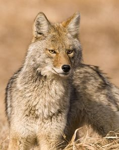Coyote: woke up at 4:30 and heard the coyotes yelping for an hour.   Pretty scary....