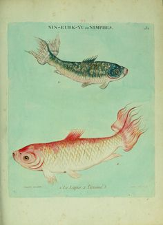 """They have long been bred and restricted to royalty, and common people keeping fancy fish has even had the death sentence decreed against it."""