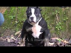 American Bully PAX T BLOOD