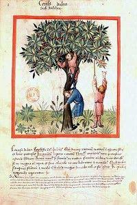 Tacuinum sanitatis - Cerosa dulce, Cerise - BNF Latin 9333 - 8v