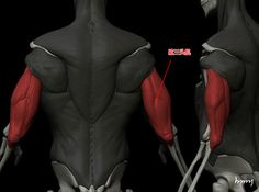 Arm Muscles (Triceps)