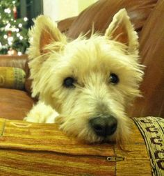 Elvis the West Highland Terrier