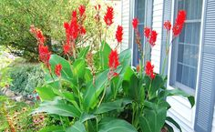 Canna indica, plantă cu flori exotice din semințele căreia poți face bijuterii