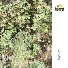 de un hongo y al menos, un organismo fotosintético: un alga verde (clorofícea) o una cianobacteria? #TerraPradosyJardines #MantenimientodeJardines #Jardín #Jardinería #Huerto Prado, Terra, Green Algae, Plants, Fungi, Vegetable Gardening