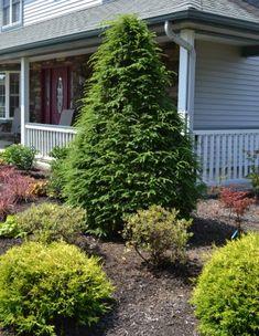 Canadian Hemlock, Tsuga canadensis – Mike's Backyard Nursery