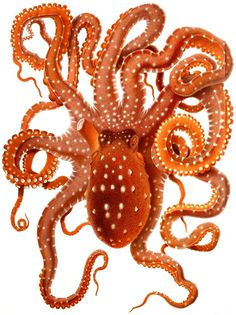 Vintage Octopus- by Adolf Naef