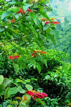 Coffeeplants, Blue Mountains, Jamaica