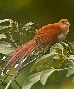 Squirrel Cuckoo (Piaya cayana). A large, long-tailed cuckoo found in Mexico, Argentina, Uruguay, and Trinidad. photo: Glenn Bartley.