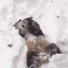 Polar bears are just love Love Animeals Love nature Ahhhh this is a panda bear not a polar bear 🙄😏 Cute Funny Animals, Cute Baby Animals, Animals And Pets, Funny Animal Pictures, Cute Gif, Funny Cute, Beautiful Creatures, Animals Beautiful, Panda Love