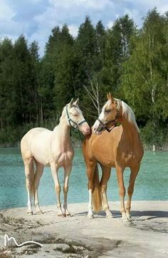 Palomino and cream horses by the pond.