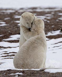 Polar Bears hug on Barrier Island off Beaufort Sea, Alaska.