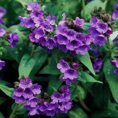 Best Perennials For Shade, Flowers Perennials, Planting Flowers, Perennial Flowers For Shade, Flowers Garden, Zone 4 Perennials, Perennials Fabric, Herbaceous Perennials, Fruit Garden