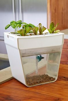 aquaponic indoor garden with self cleaning fish tank http://rstyle.me/n/vsxsepdpe