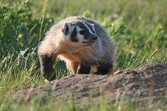American Badger at Waterton National Park - Diamond Willow Designs