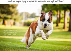 Sacramento Pet Photographer – Purple Collar Pet Photography » Thoughts on Capturing Action