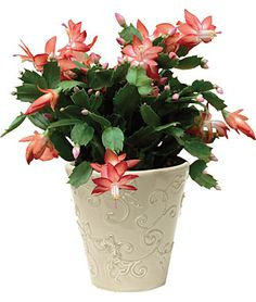 Growing Christmas cactus, care tips, picture - Schlumbergera bridgesii - how to misc Christmas Cactus Plant, Easter Cactus, Cactus Flower, Flower Pots, Cacti And Succulents, Cactus Plants, Pot Plants, Plants Indoor, Ikebana