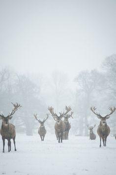 The reindeer are coming.the reindeer are coming.the reindeer are coming. Beautiful Creatures, Animals Beautiful, Cute Animals, Wild Animals, Baby Animals, Winter Szenen, Winter Time, Winter Walk, Winter Magic