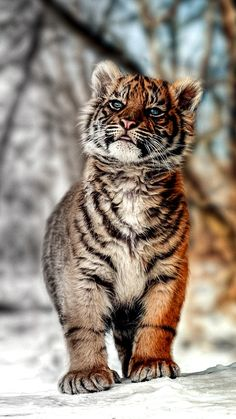 and pets - Katzen -Animals and pets - Katzen - Stunning picture of beautiful Tiger cub aww sweet my friend, thx & I love tigers the most xo :) Tiger Cub More Hair Blowing Lion Wallpaper - Best Wallpaper HD ZOONOOZ Mach 2016 by San Diego Zoo Global. Big Cats, Cats And Kittens, Cute Cats, Nature Animals, Animals And Pets, Wild Animals, Animals Images, Beautiful Cats, Animals Beautiful