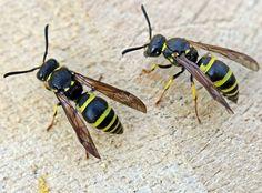 Eumenidae - Pesquisa Google