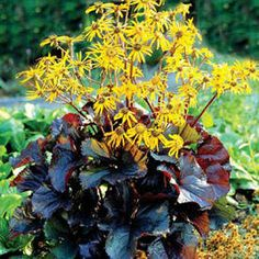 "Ligularia dentata 'Britt-Marie Crawford' Common name : Black-leaved Ligularia, blooms mid to late summer bearing clusters of bright golden daisy flowers, 35-47""x31-35"", shade to part shade, moist soil"