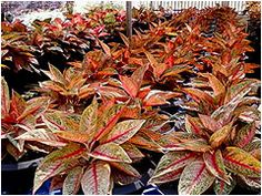 aglonema Best Indoor Plants, Evergreen, Natural, Planting Flowers, Tropical, Gardening, Om, Chinese, Beautiful