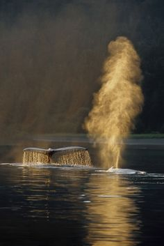 Pair of humpback whales swimming on surface fluke  spouting Inside Passage SE Alaska Summer backlit Photo by Alaska Stock Images