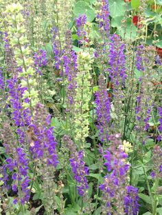 Salvia sylvestris 'May Night'