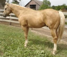Skip B Kelo; 1998; Palomino stallion; (Skips Quillo x Skip N Donna); Last owned by Tom and Pat Lahey, of  Platteville, WI. Another example of the progeny line of Sagey.