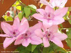 Waldrebe Clematis Hagley Hybrid rosa großblumig  60/100 cm frosthart