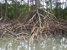 Aerial roots of Red Mangrove on an Amazonian river. Photo by Cesar Paes Barreto