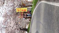 鳥屋野潟の桜(新潟市)