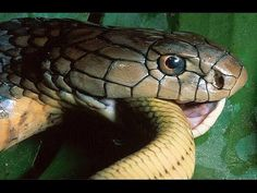 Wild discovery channel animals - King Cobras - Animal planet documentary