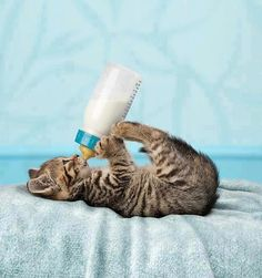 Kitten Drinking Milk From Bottle ♥