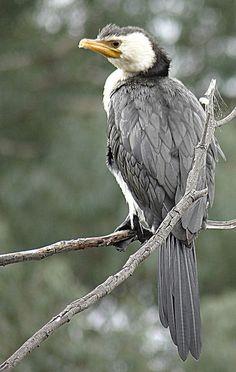 ♥ Little Pied Cormorant ~ Phalacrocorax melanoleucos