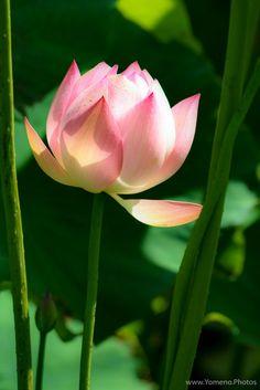 Fleur de lotus, Jardin botanique de Montréal - Québec