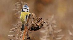 pimpelmees, fotograaf: dianmary