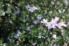Westringia Edna Walling Rosemary --- For more Australian native plants visit austraflora.com