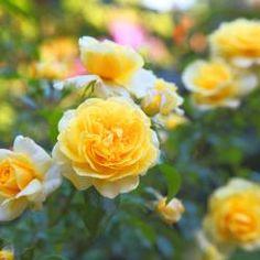 10 bio tipps f r gesunde rosen g rten pflanzen und rose. Black Bedroom Furniture Sets. Home Design Ideas