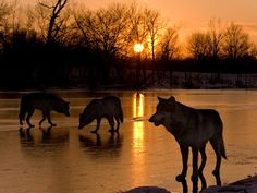 Wolves at sunset.