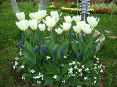 цветут тюльпаны в саду