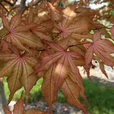 'Amber Ghost' Japanese maple. Latin name: Acer palmatum 'Amber Ghost'. Learn more here http://www.finegardening.com/plantguide/acer-palmatum-amber-ghost-japanese-maple.aspx
