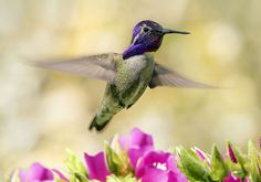 Male Costa's Hummingbird in flight over Dumbeya seminole flowers. Wings of the Tropics. Fairchild Tropical Botanic Garden. | par pedro lastra