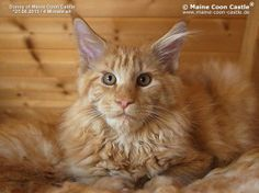 Donny of Maine Coon Castle 4 Monate alt, 3525g