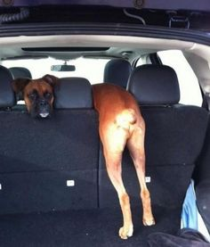 Which way are we going? This is hysterical!!! I swear, I think Boxers might just be the silliest /goofiest breed!