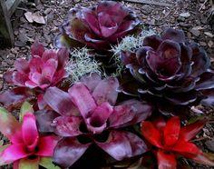 neoregelia bromeliad