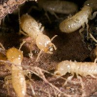 Are you trying to prevent a termite infestation? Here are a few natural home remedies for termite control that work wonderfully as prev Termite Damage, Termite Control, Pest Control, Termite Inspection, Enjoy The Sunshine, Natural Home Remedies, Ants