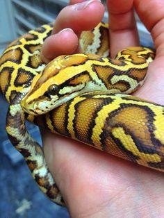 Caramel Burmese python, The Reptile Report, Facebook.