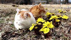 福寿草 Cat and flower 2018#1
